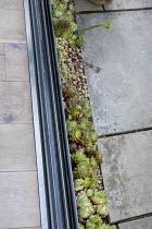 Sempervivums in paving crack along sliding doors