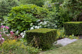 Clipped Buxus sempervirens cubes, Fatsia japonica, Hydrangea arborescens 'Annabelle'
