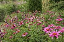 Allium sphaerocephalon, Echinacea purpurea 'Fatal Attraction', Taxus baccata column, Veronicastrum virginicum 'Fascination'