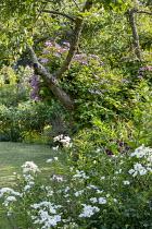 Clematis 'Comtesse de Bouchaud' climbing in tree, Rosa 'Kent'
