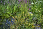 Lythrum salicaria around wildlife pond