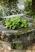 Hosta in large stone antique basin