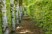 Row of Silver birch trees