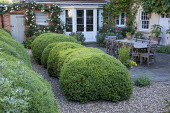 Cloud-pruned Buxus sempervirens hedge, gravel path, roses climbing on house wall, wooden table and chairs by Gaze Burvill on stone patio