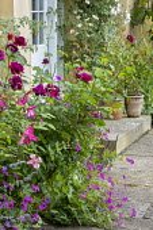 Rose and geraniums by doorway