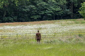 View to sculpture by Antony Gormley in long grass meadow, Ox-eye daisies, fence
