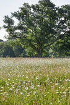 Ox-eye daisy meadow, oak tree
