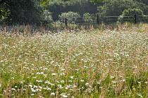 Ox-eye daisy meadow