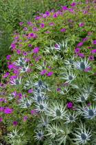 Eryngium, Geranium psilostemon