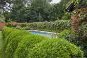 Swimming pool terrace, cloud-pruned Buxus sempervirens hedge, Hakonechloa around wall, Ficus carica, roses climbing on brick wall