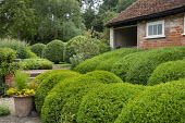 Cloud-pruned Buxus sempervirens, helenium in terracotta container, outbuilding