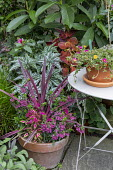 Cordyline 'Pink Passion', Solenostemon 'Pink Chaos', angelonia, Begonia 'Gryphon',  Portulaca umbraticola in pot on table