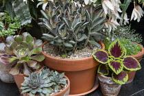 Succulents in pots, Kalanchoe tomentosa 'Nigra', Aeonium spathulatum, Aeonium 'Blushing Beauty', Solenostemon 'Walter Turner', sempervivum