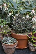 Succulents in pots, Kalanchoe tomentosa 'Nigra', Aeonium spathulatum, Aeonium 'Blushing Beauty', Solenostemon 'Walter Turner', Begonia 'Million Kisses Elegance', sempervivum