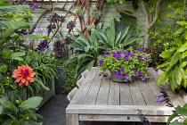 Petunia 'Night Sky' in pot on wooden table in exotic courtyard, Aeonium 'Zwartkop', dahlia, Salvia 'Amistad'