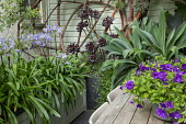 Petunia 'Night Sky' in pot on wooden table in exotic courtyard, Aeonium 'Zwartkop', Agapanthus africanus in large wooden containers