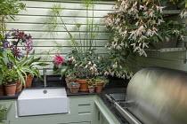 Outdoor kitchen, Cyperus papyrus, Begonia 'Million Kisses Elegance', succulents in pots, Kalanchoe tomentosa 'Nigra', Aeonium spathulatum, Aeonium 'Blushing Beauty', Solenostemon 'Walter Turner', semp...