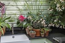Succulents in pots, outdoor sink, Cyperus papyrus, Begonia 'Million Kisses Elegance', Kalanchoe tomentosa 'Nigra', Aeonium spathulatum, Aeonium 'Blushing Beauty', Solenostemon 'Walter Turner', semperv...