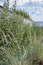 Ammophila arenaria, Griselinia littoralis hedge against wooden fence