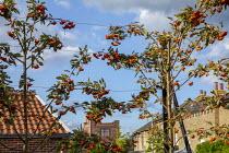 Trained Sorbus x thuringiaca 'Fastigiata' espalier screen