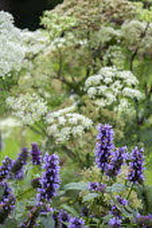 Agastache 'Blackadder', Selinum wallichianum