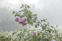 Rosa 'Queen of Sweden' in mist