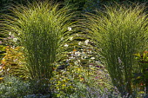 Anemone x hybrida 'Honorine Jobert', Nepeta racemosa 'Walker's Low', Miscanthus sinensis 'Morning Light'