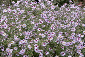 Symphyotrichum 'Coombe Fishacre' syn. aster
