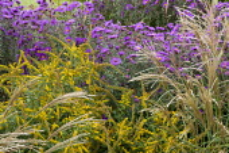 Solidago rugosa 'Fireworks', Miscanthus sinensis 'Yaku-jima', Symphyotrichum novae-angliae 'Violet Haze' syn. aster
