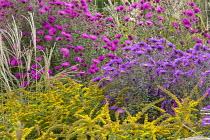 Solidago rugosa 'Fireworks', Symphyotrichum novae-angliae 'Wow', Symphyotrichum novae-angliae 'Violet Haze' syn. aster