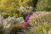 Symphyotrichum novae-angliae 'Herbstschnee', Symphyotrichum novae-angliae 'Andenken an Alma Pötschke', Miscanthus sinensis 'Sioux', Pennisetum alopecuroides 'Herbstzauber', Aster novae-angliae 'Lou W...
