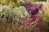 Symphyotrichum novae-angliae 'Herbstschnee', Symphyotrichum novae-angliae 'Andenken an Alma Pötschke', Miscanthus sinensis 'Sioux', Aster novae-angliae 'Lou Williams'