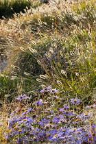Pennisetum massaicum 'Red Bunny Tails', Aster × frikartii 'Mönch'