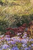 Aster × frikartii 'Mönch', Hylotelephium (Herbstfreude Group) 'Herbstfreude', Pennisetum massaicum 'Red Bunny Tails'