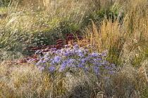 Aster × frikartii 'Mönch', Hylotelephium (Herbstfreude Group) 'Herbstfreude'