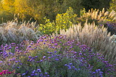 Symphyotrichum novae-angliae 'Barr's Blue' and 'Barr's Pink' syn. aster, Helianthus 'Lemon Queen'