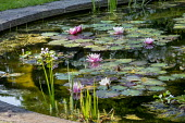 Nymphaea 'Rosennymphe' in stone-edged water lily pond
