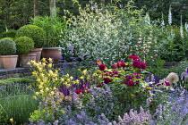 Rosa 'Munstead Wood', Crambe cordifolia, Nepeta racemosa 'Walker's Low', Aquilegia chrysantha, clipped box balls in terracotta pots