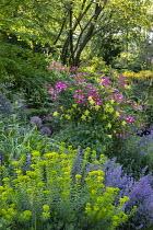Aquilegia chrysantha, Rosa 'Mozart', alliums, euphorbia, Nepeta racemosa 'Walker's Low'