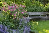 Wooden bench by Gaze Burvill by stone wall, Aquilegia chrysantha, Rosa 'Mozart', Nepeta racemosa 'Walker's Low', Hakonechloa macra
