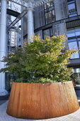 Acer palmatum underplanted with ivy in large Cor-Ten steel raised bed