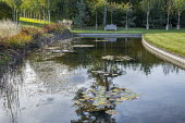 View across water lily pond to bench on lawn, Betula utilis var. jacquemontii