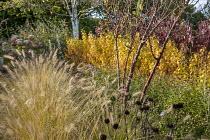 Pennisetum alopecuroides 'Hameln', Cornus sanguinea 'Midwinter Fire', Cornus alba 'Sibirica', Prunus serrula, Aster × frikartii 'Monch'