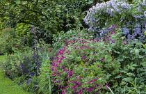 Border beneath apple tree, Geranium psilostemon, Campanula lactiflora, poppies