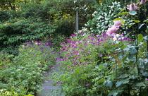 Rosa 'The Queen Elizabeth', Geranium psilostemon, path