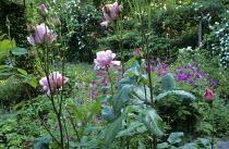 Rosa 'The Queen Elizabeth', Geranium psilostemon