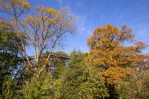 Treetrop walkway through oak trees