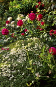 Hebe 'White Gem', Rosa 'Dark Lady' and Rosa 'Winchester Cathedral'