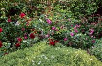 Hebe 'White Gem', Rosa 'Tradescant' and Rosa 'Belle de Crécy'