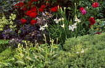 Hebe 'White Gem', Rosa 'Tradescant' and Rosa 'Belle de Crécy', hosta, iris, rhododendron, cotinus